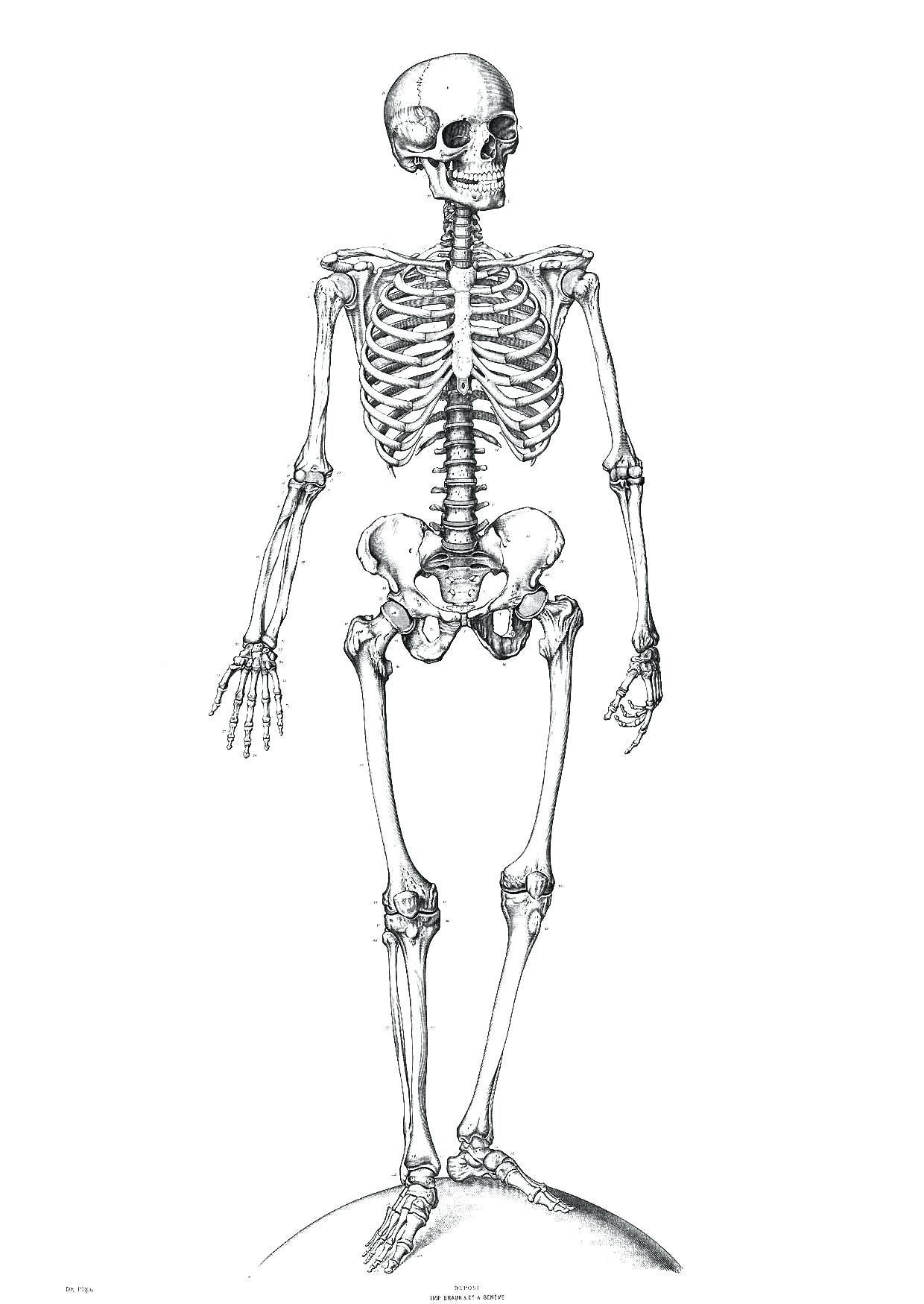 the human skeleton diagram fill in blanks tekonsha voyager 9030 wiring unlabeled of anatomy drawing
