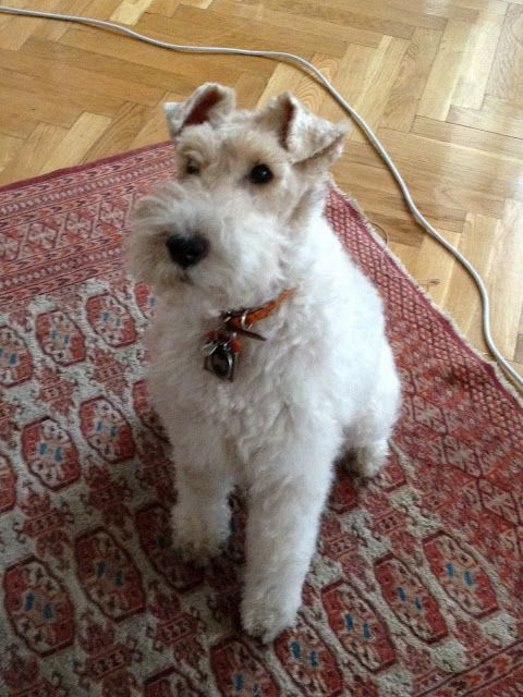 Asta the most beautiful Wirey dog from Hungary