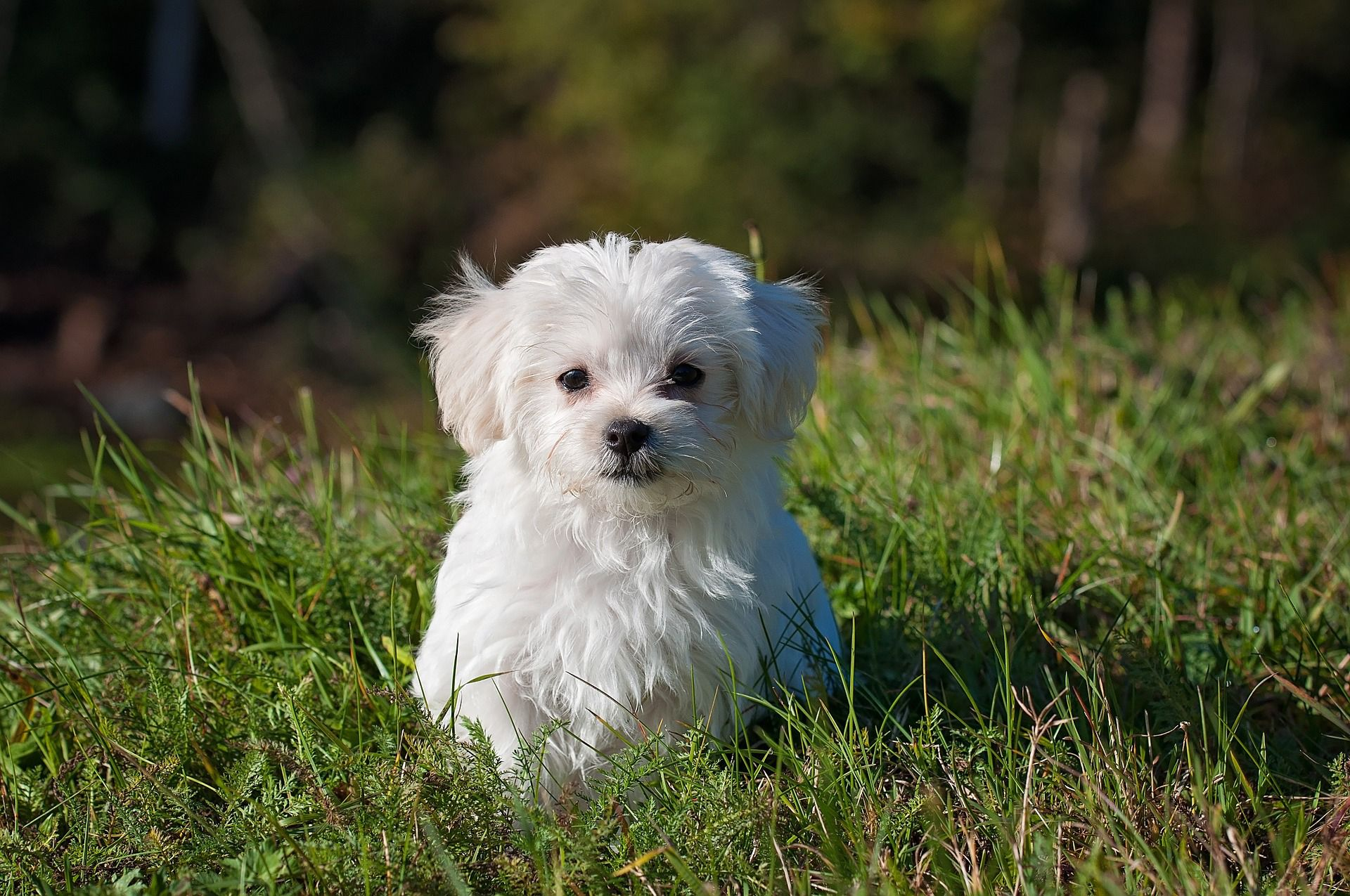 What A Cutie Little Maltese Puppy In The Grass Ready For
