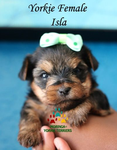 Available Yorkie Terrier Puppies Yorkie Puppies For Sale Moringa Yorkie Teacups Yorkshire Terriers Yorkie Puppy For Sale Teacup Yorkie Puppy Yorkie Terrier