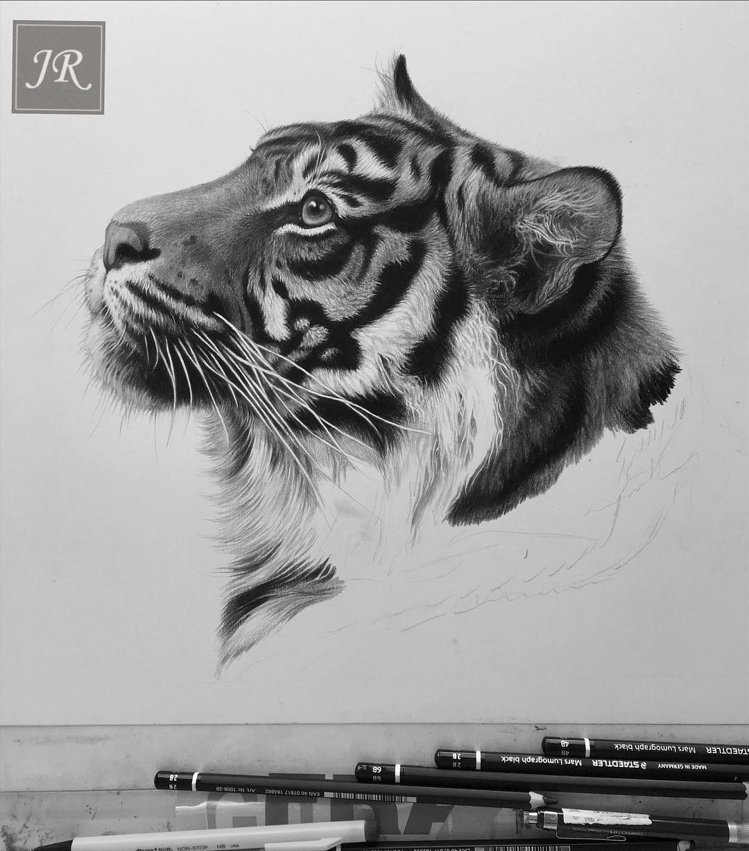 Tiger on the drawing board today! pencil drawing on Strathmore board