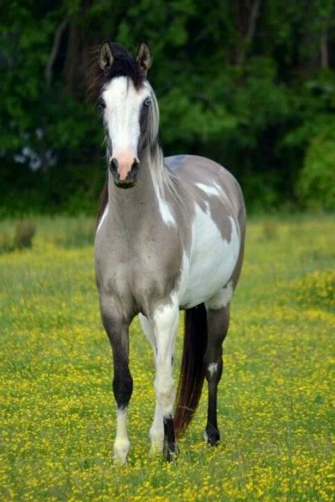 Gray Paint filly.  What will she look like when the gray turns white?