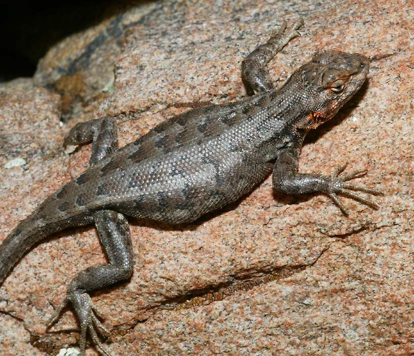 Lizards Of Southern California Google Search With Images