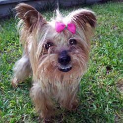 Adopt Scarlett On Yorkie Dogs Yorkshire Terrier Dog Yorkie
