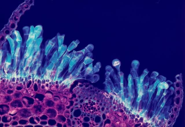 Section through wheatstem | 1977 Photomicrography Competition | Nikon Small World