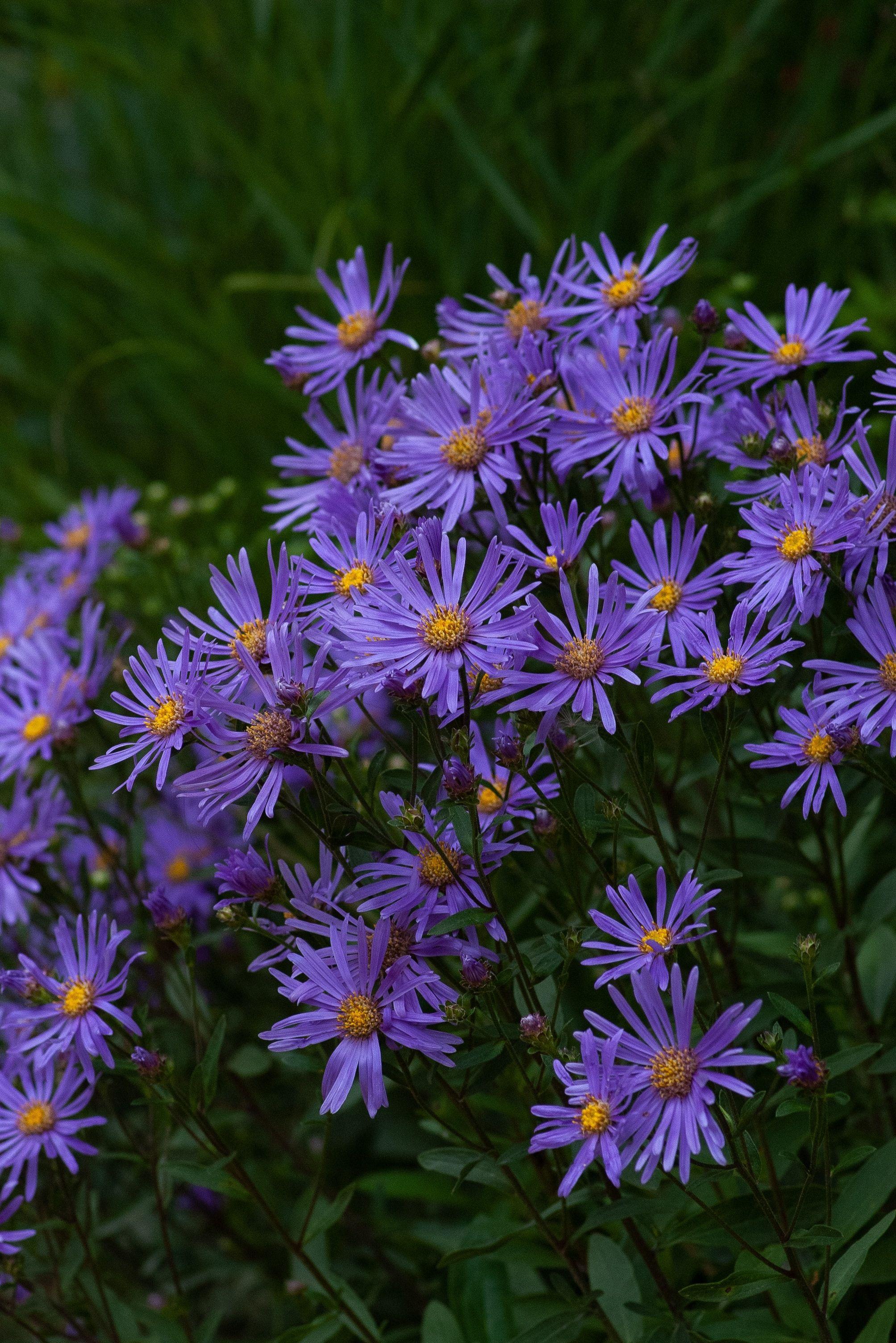 Pentax Corporation Pentax K100d Super 9889e6 Aster Flower White Flowering Plants Flower Pictures