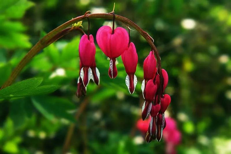 Bleeding Heart Plant Care Secrets You Should Know