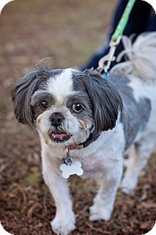 Sherman Oaks Ca Shih Tzu Meet Lancelot A Dog For Adoption