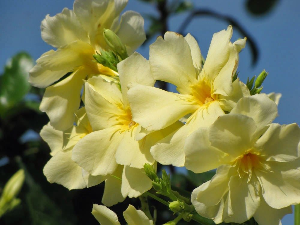 Pin By Khaled Alanzi On Nerium Oleander Nerium Flowering Shrubs