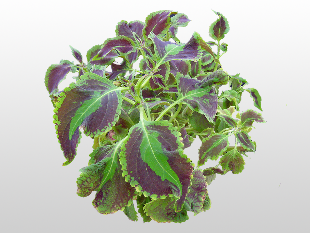 a coleus plant is easily propagated from stem cuttings plant up little coleus plants and