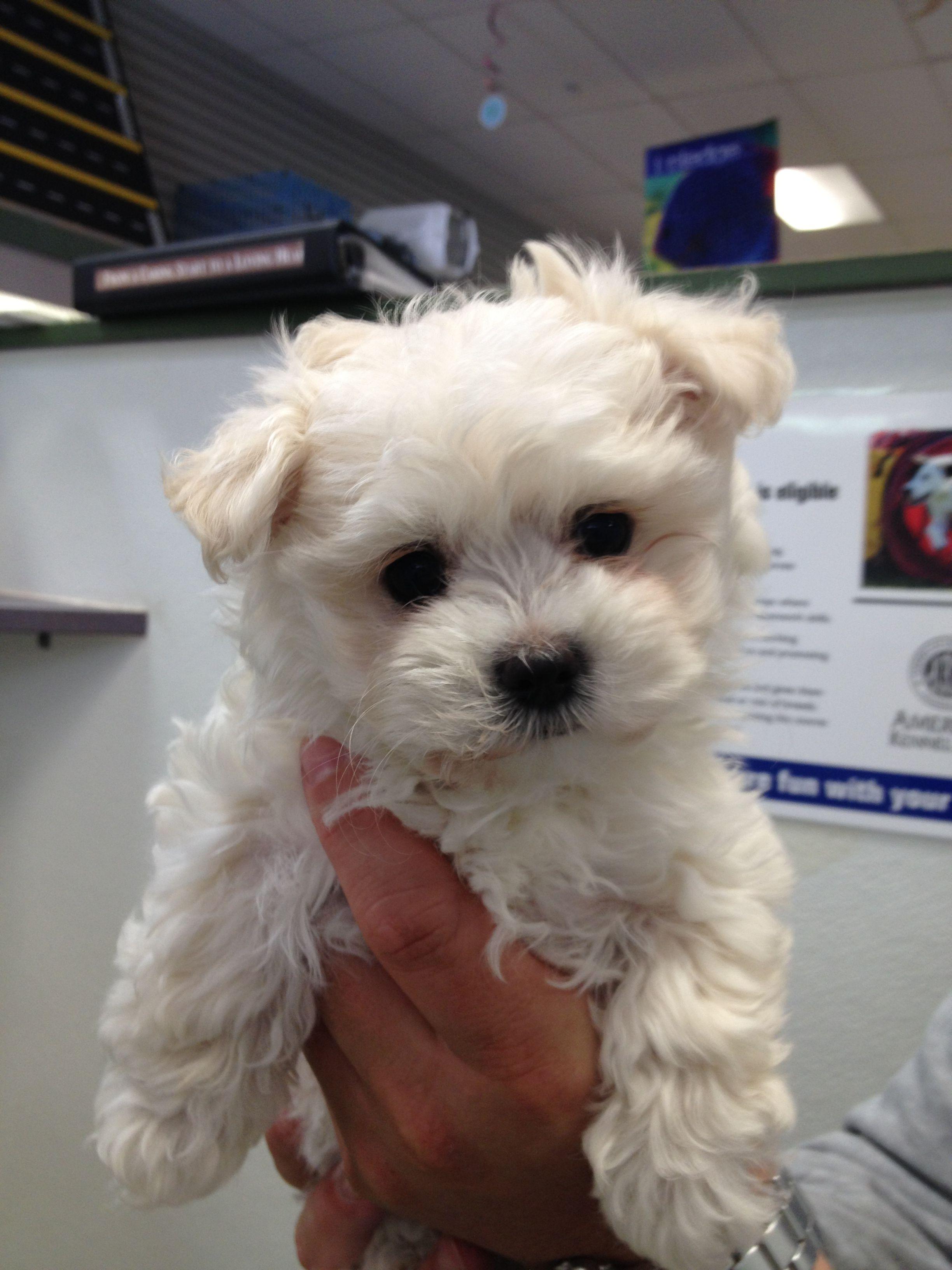 My Piper At 10 Weeks Maltipoo Teacup Puppies Fur Babies Maltipoo