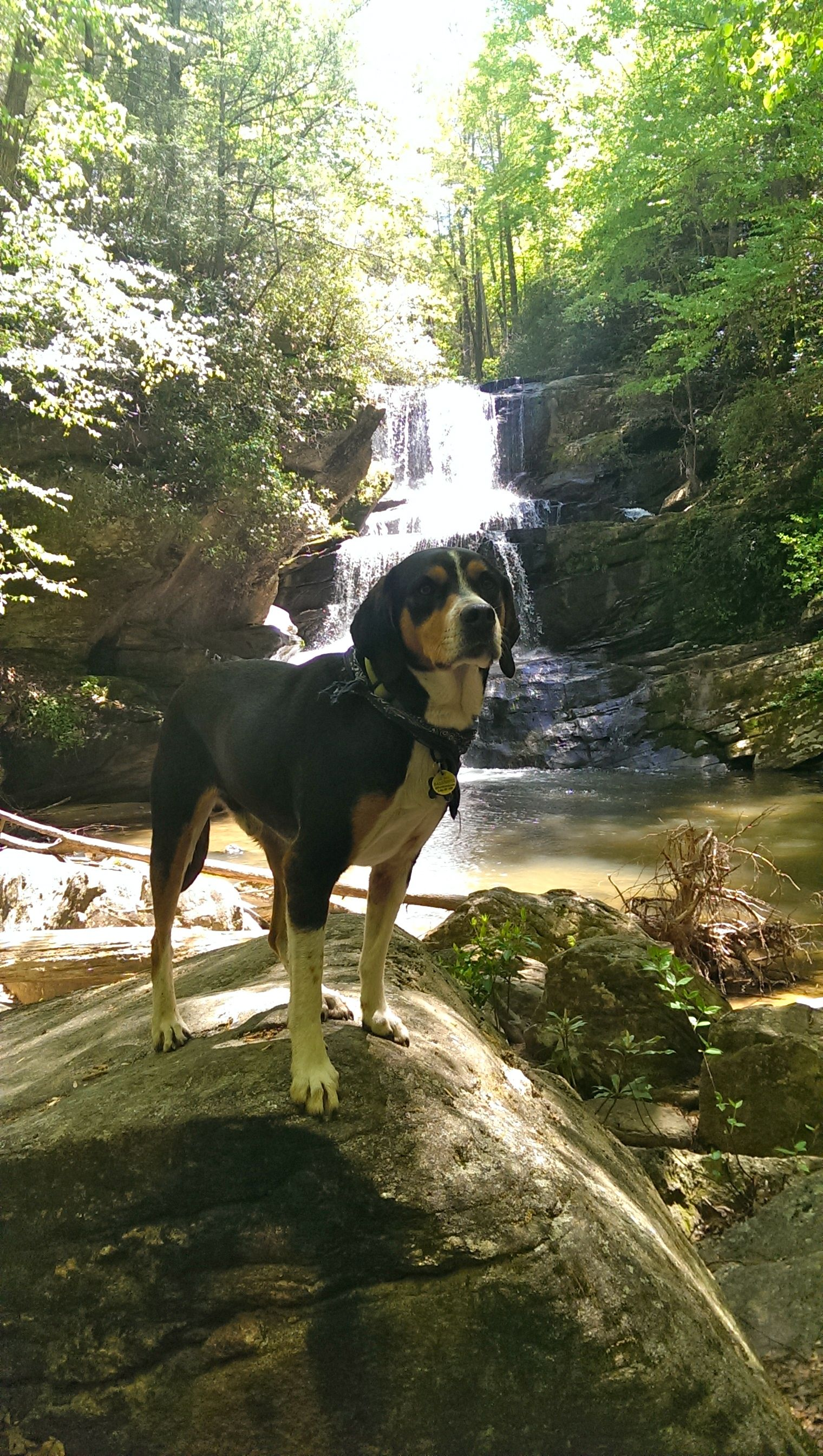 Wizard The One And Only Appenzeller Sennenhund Foxhound Mix Greater Swiss Mountain Dog Swiss Mountain Dogs The Fox And The Hound