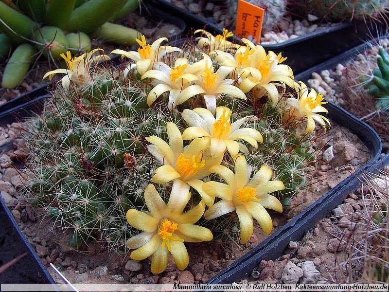 Mes petites plantes grasses et cactées - Page 6 340560aa7bd8c9db77fb55460af09dca