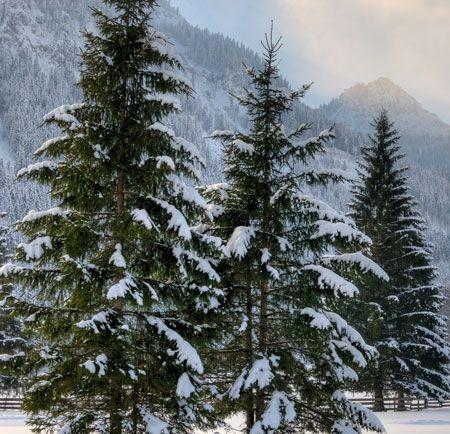 Norway Spruce on Fast Growing Trees Nursery
