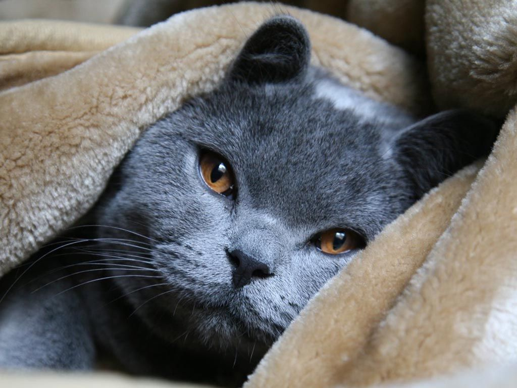Pictures Of Blue Russian Cats Cute Russian Blue Bald Cat Russian Blue Russian Blue Cat British Blue Cat