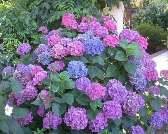 Te decimos c mo cuidar las hermosas flores de hortensias - Como cuidar las hortensias en maceta ...