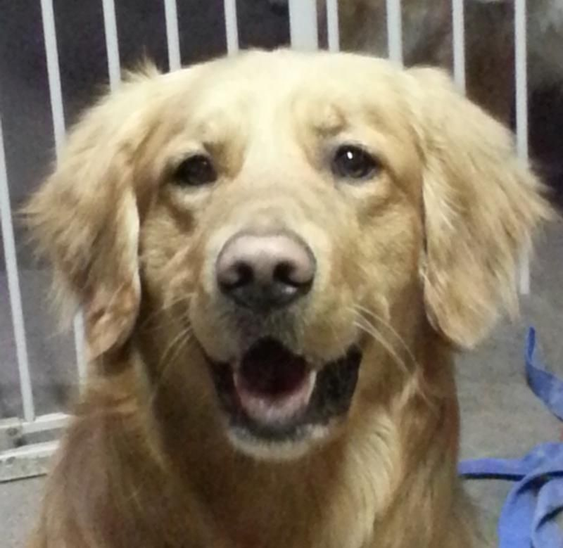 Adopt Joben 3 Yrs Adopted On Animal Rescue Golden Retriever Rescue Adoption