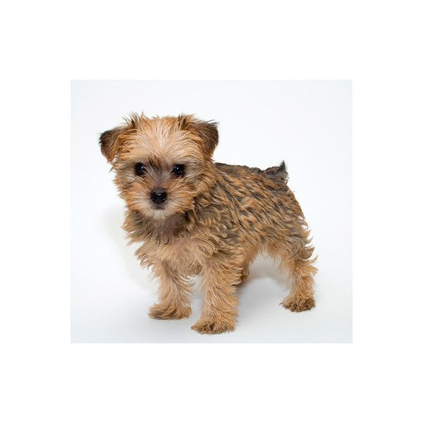 Schnoodle Puppies For Sale In Ohio featuring polyvore