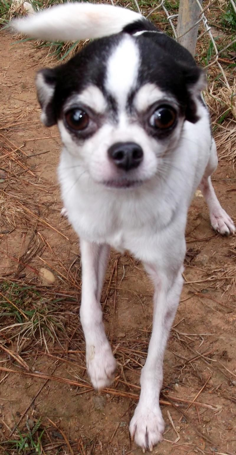 Adopt Abilene On Petfinder Chihuahua Dogs Adoption Animals