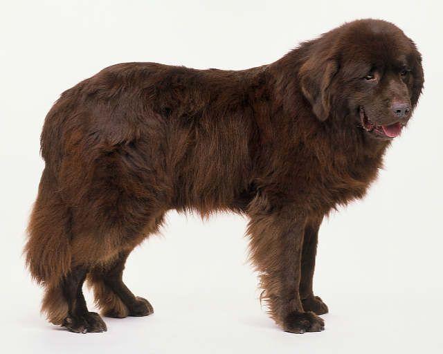 Newfoundland Dog Breeds Massive Dogs Dogs