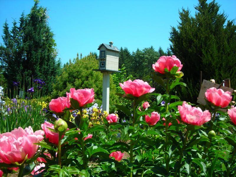Peonies and birdhouse in the iris gardens at Brooks Gardens peony ...