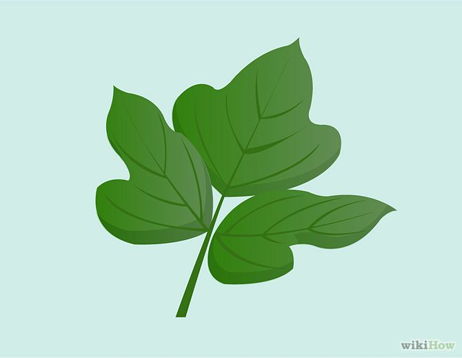 How To Identify Kudzu Plant Leaves Plants Ground Cover