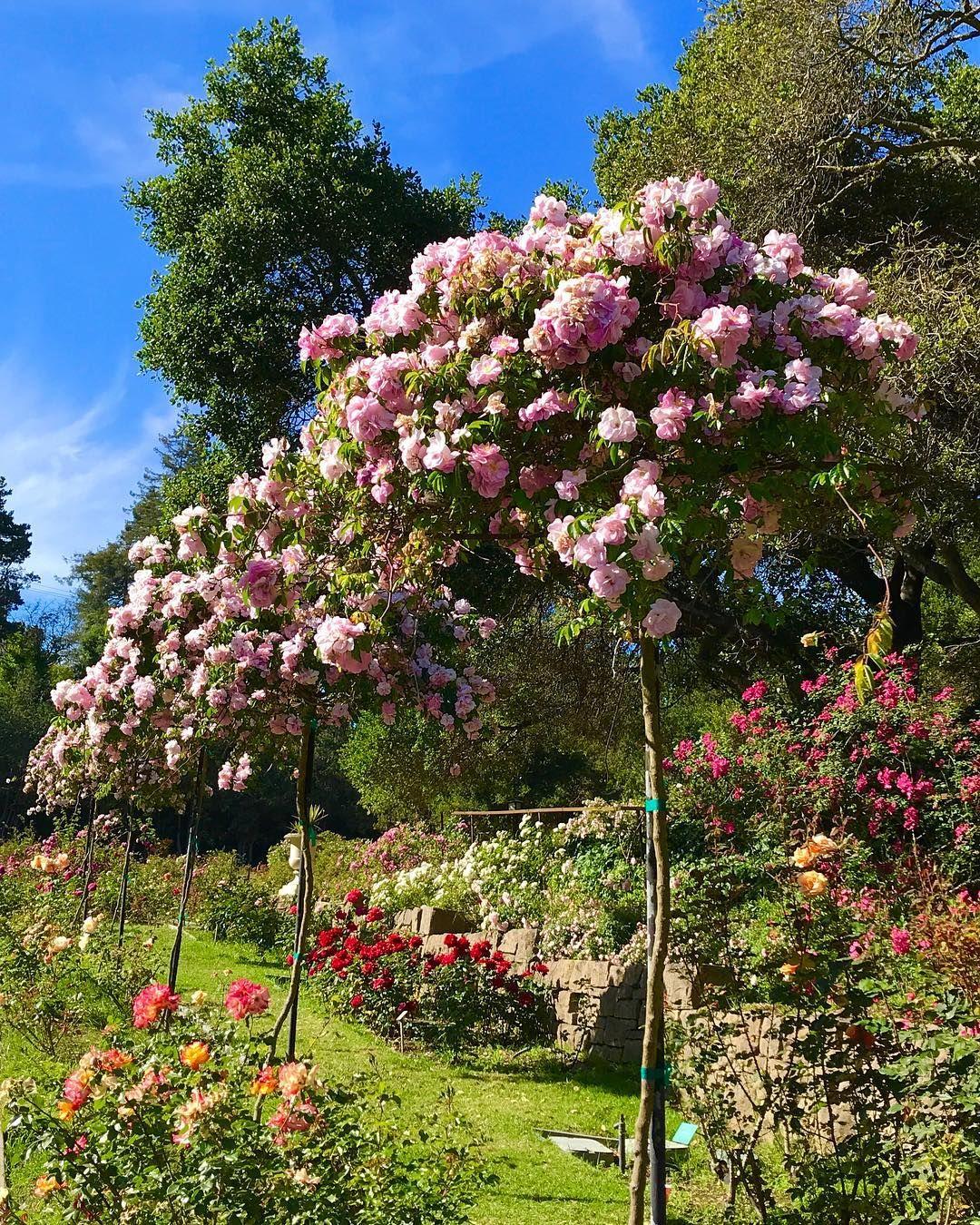 rose #roses #garden #gardening #flowers #flowerstagram #nature ...