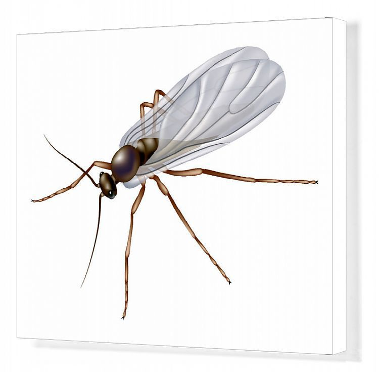 Canvas Print-026_Fungus_gnat-20x16 Box Canvas Print made in the USA #gnats