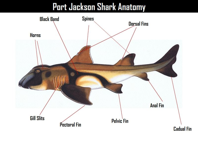Port Jackson Shark Anatomy lebelled | SHARKS! | Pinterest | Shark ...