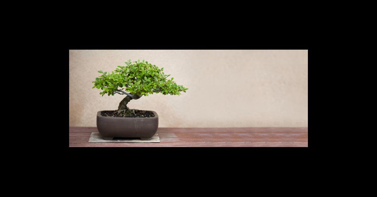Wie man einen Bonsai selbst zieht - GARDENA   Bonsai