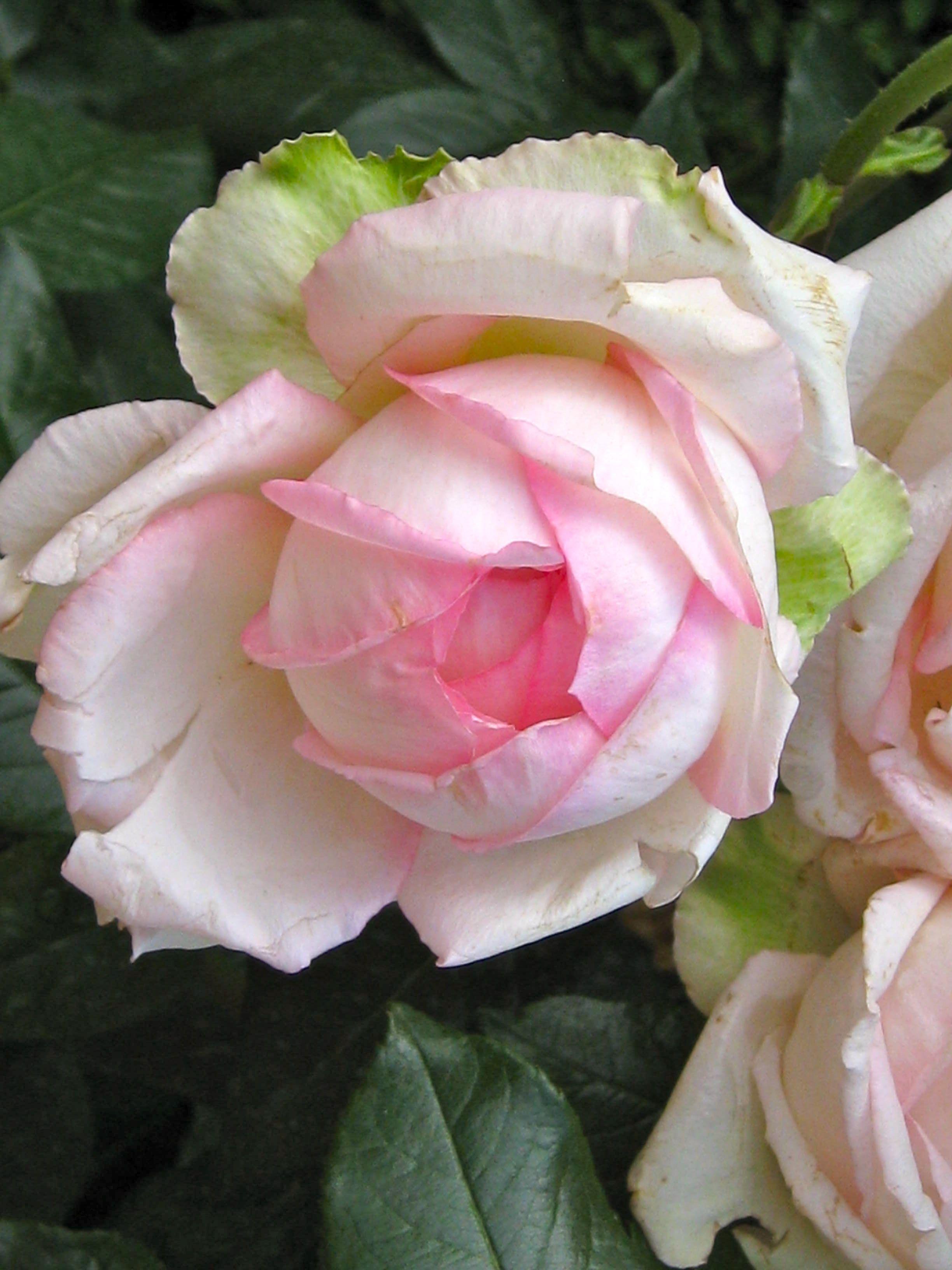 'Château de Chinon' ~ Rose