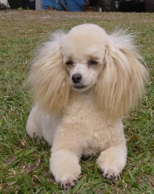 Apricot Miniature Poodle... oh my gosh, this little lovey looks so much like my Buddy... I miss him so much.