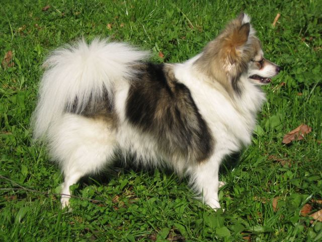 As German Spitz Breeders In The Usa With Both The Klein And Also