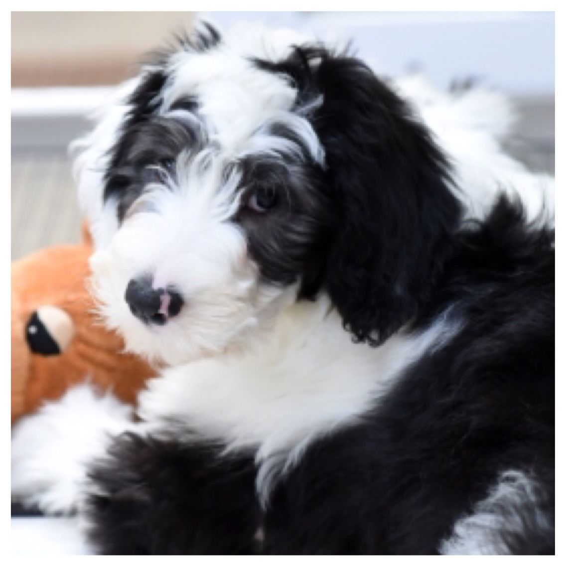 Sheepadoodle Puppy Feathers And Fleece Sheepadoodle Puppy Pet