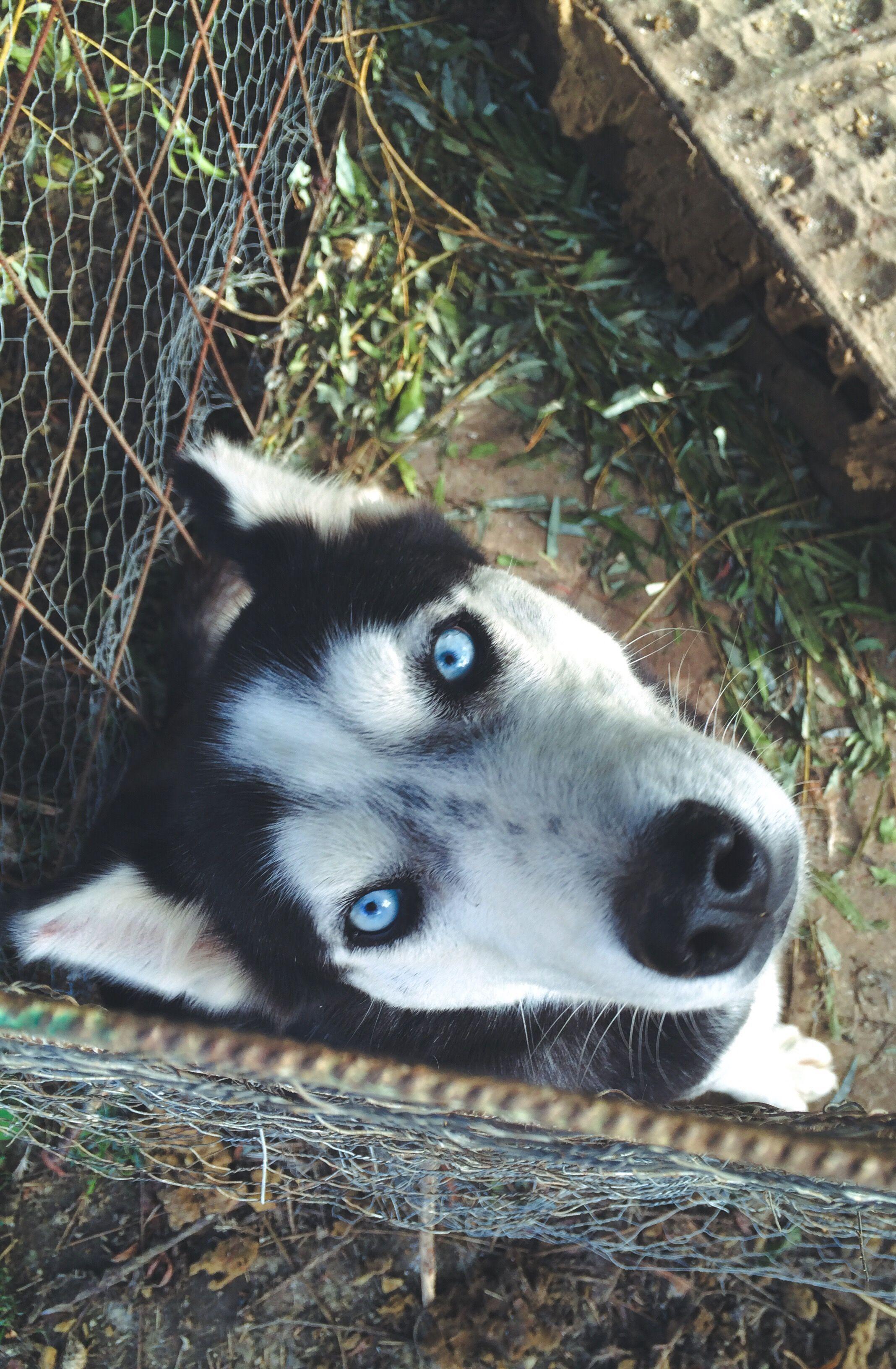 Siberian Husky Siberianhusky Doberman Pinscher Puppy Alaskan