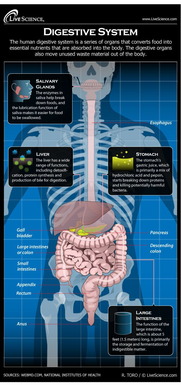 hight resolution of  digestive system facts function diseases livescience infographic