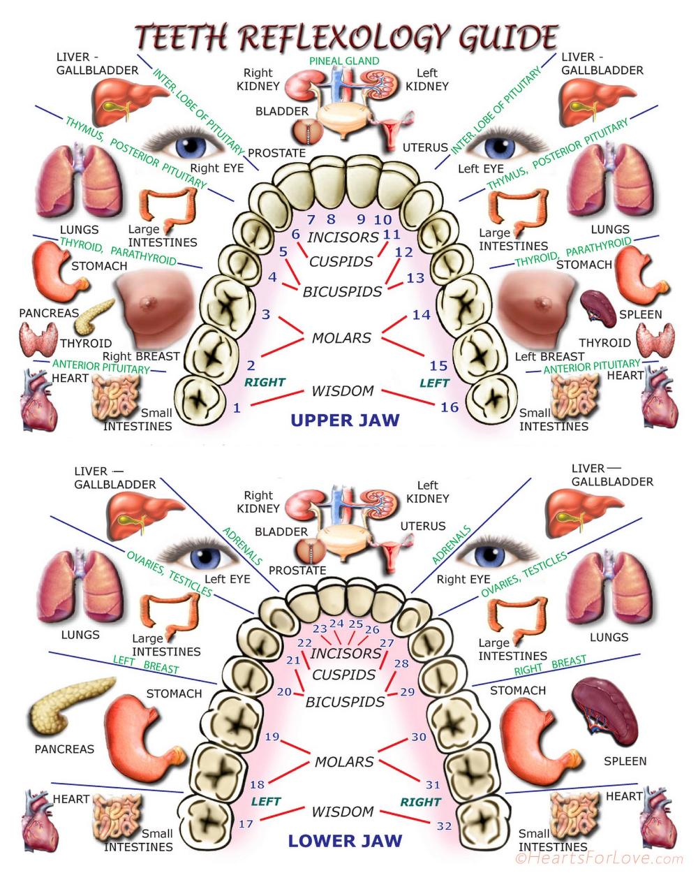 Teeth Reflexology Guide, Print, 8x10