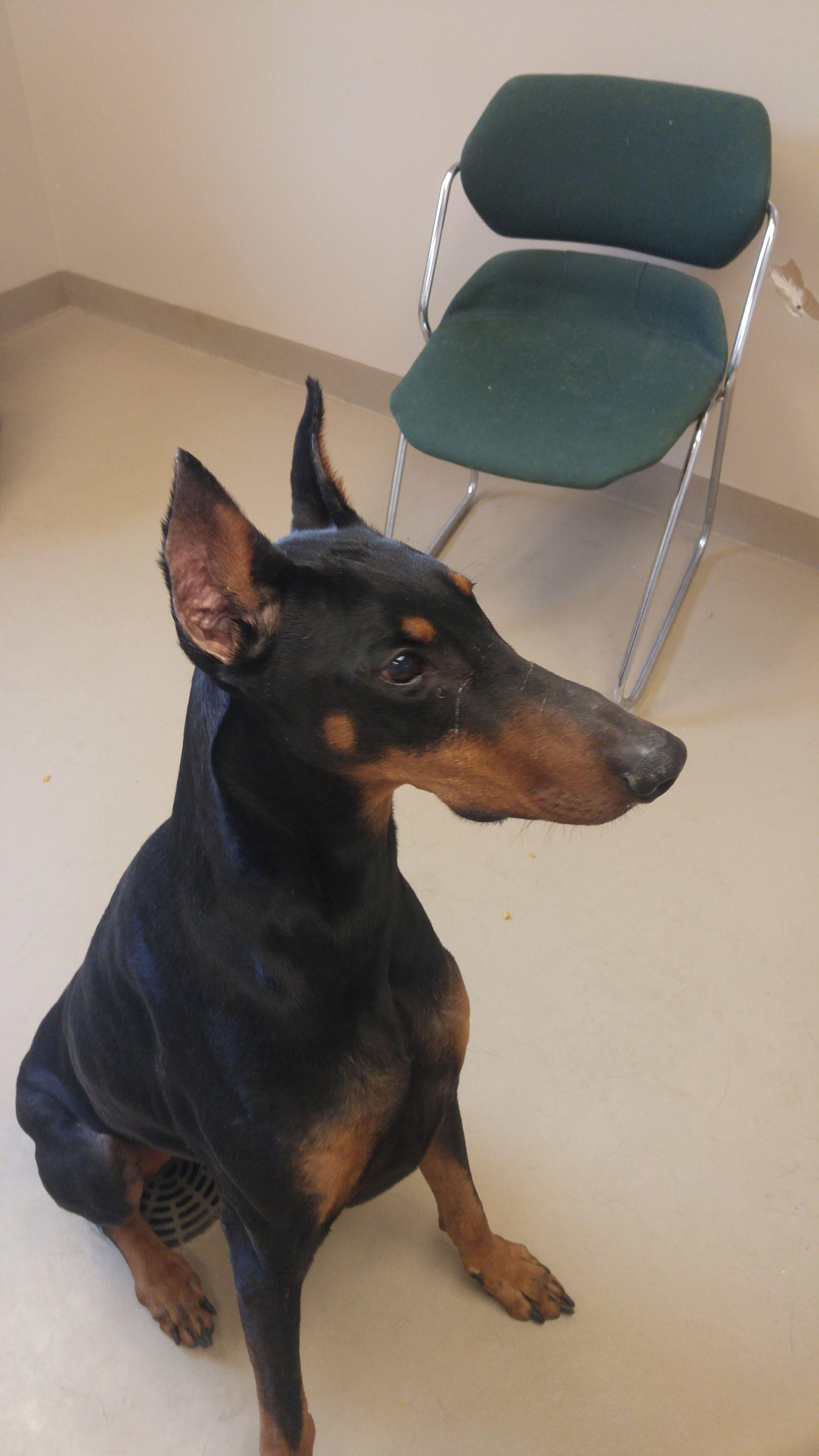 Doberman Pinscher dog for Adoption in Mishawaka, IN. ADN