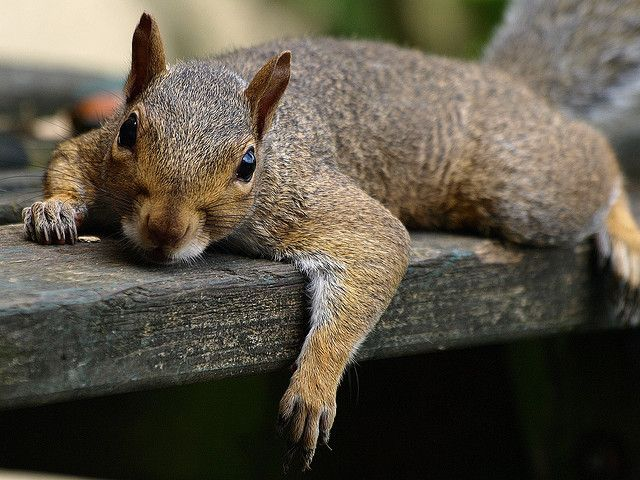 Squirrels In The Chimney Get Rid Of Them With Skedaddle