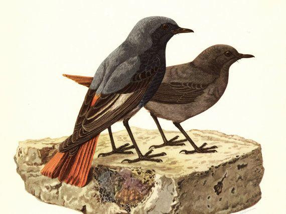 Historische Schautafel Vogel Tierposter Zeichnung von Krohnografie