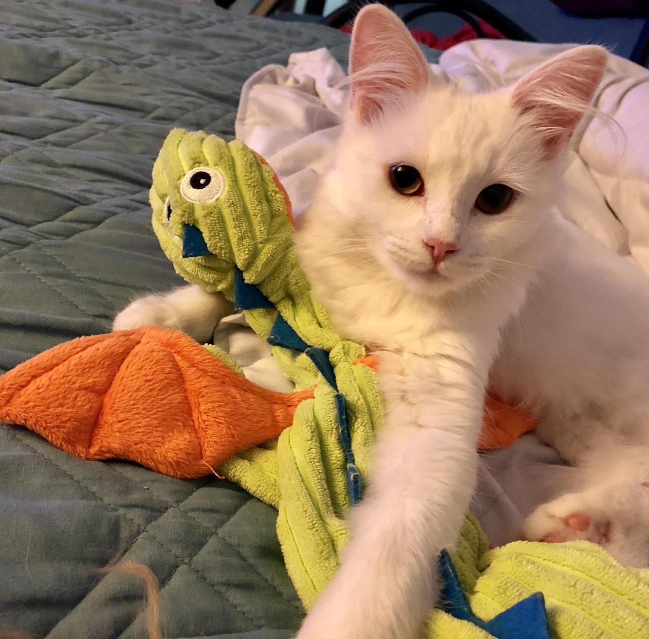 My Kitten Khaleesi Is Obsessed With Cuddling My Dogs Dragon Toy I Guess I Gave Her The Perfect Name By Sugar0182 What You Think About Dog Toys Kitty Kittens