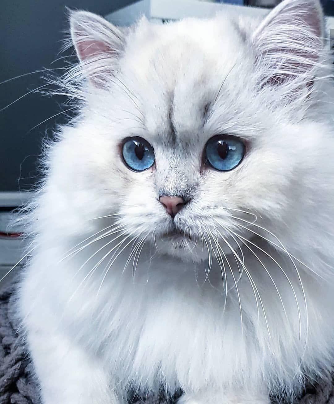 Instagram Acc Honorine British Cats Catsofinstagram