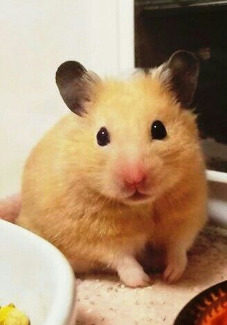 Pin By Karen On Our Loveable Best Friends Cute Hamsters Pet