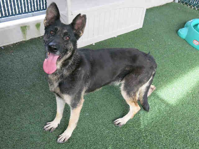 My name is COCO. I'm a female BLACK/TAN GER