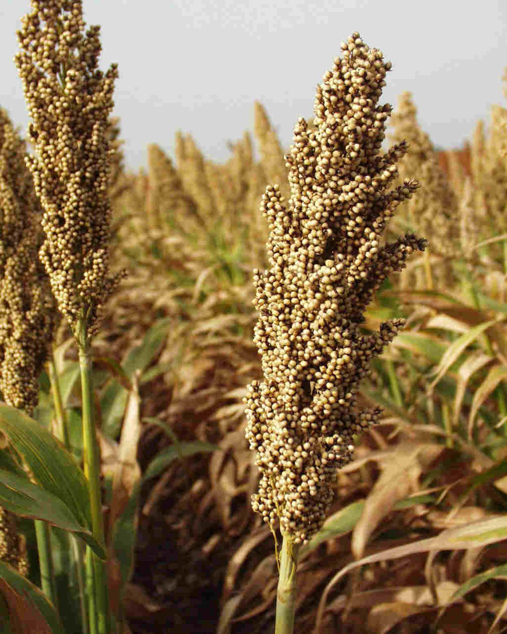 Sorghum Rice An Interesting Starting Point For Possible