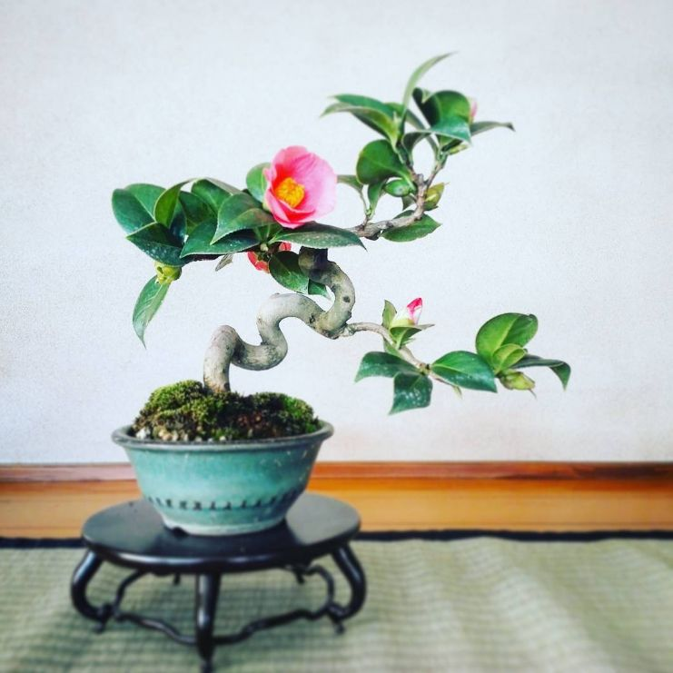 Camellia Sinensis Bonsai Tree Care Bonsai Flower Indoor Bonsai Tree