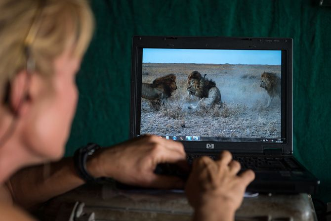 The killers attack C-Boy. THE SERENGETI LION © Michael Nichols/ National Geographic