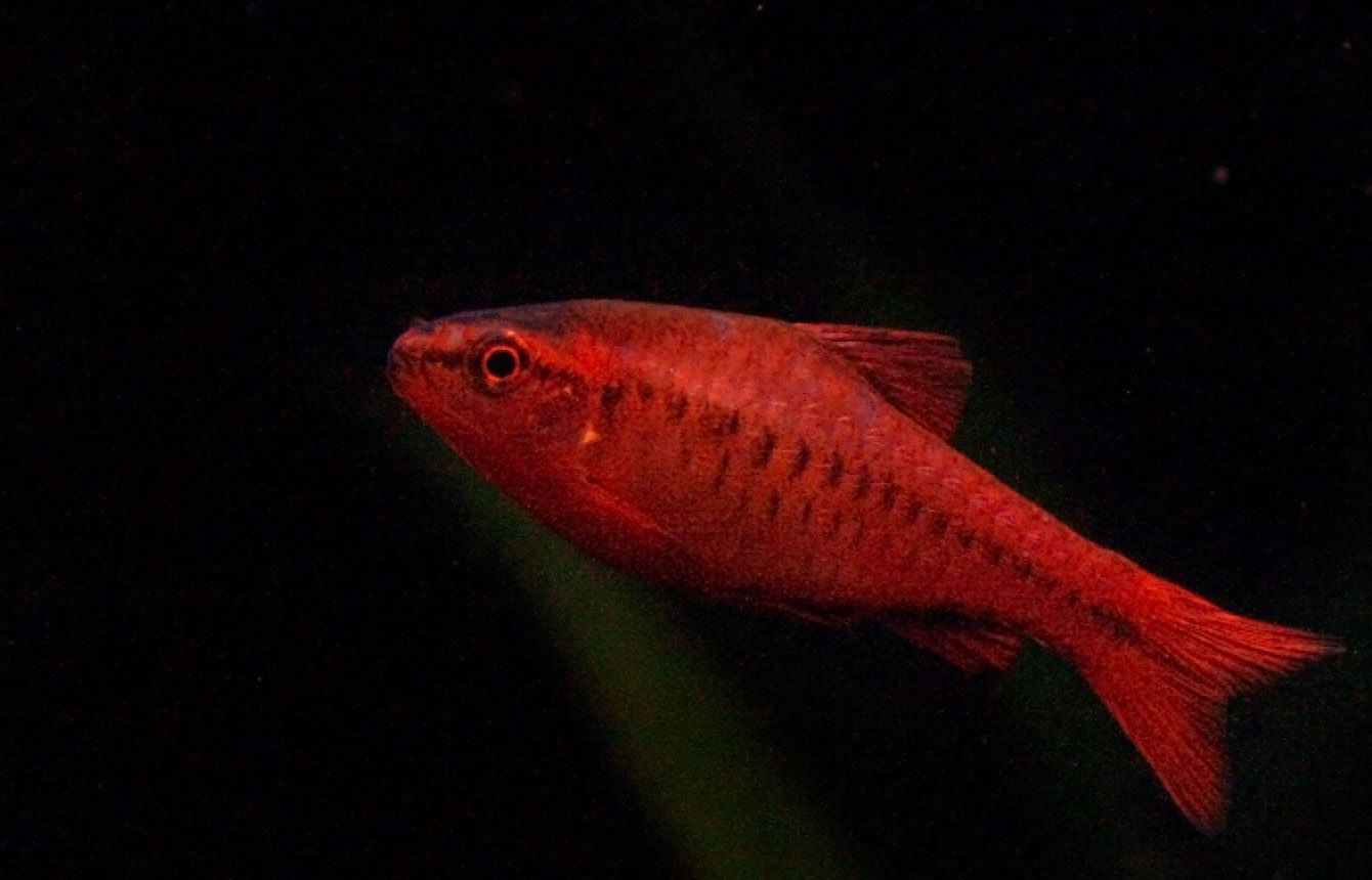 The male cherry barb turns bright red during spawning season, which ...