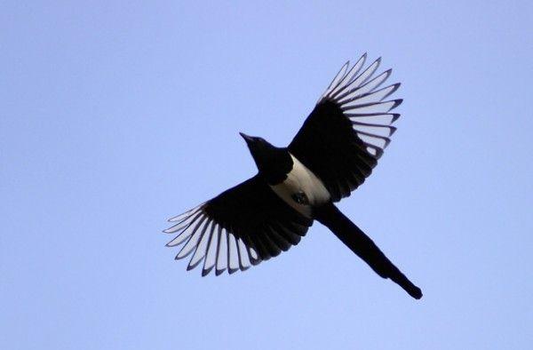 Eurasian Magpie - pica pica (6633). bird, birds, common magpie, eurasian magpie, european magpie, magpie, nature, pega, pica pica, wildlife,...
