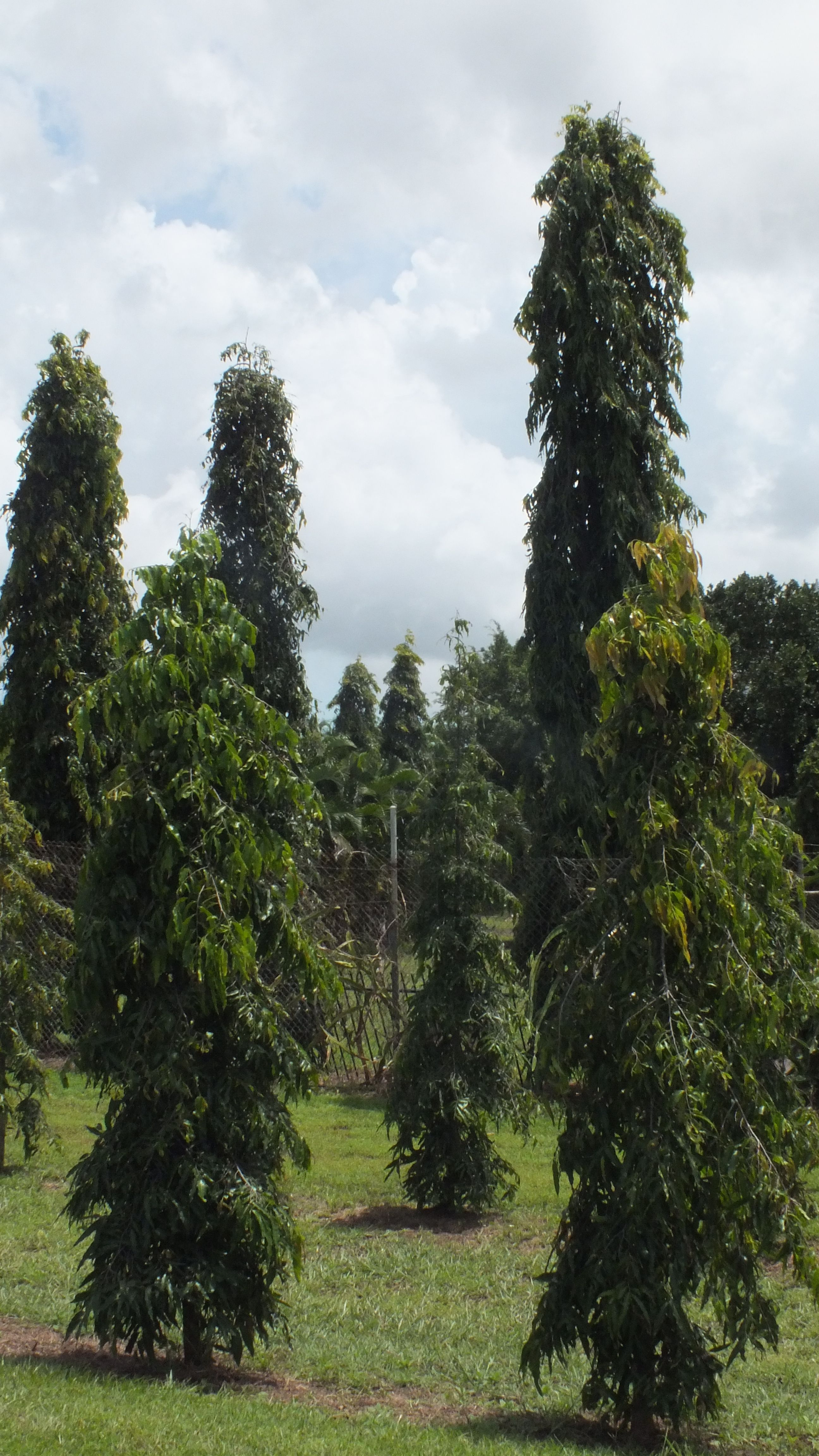 Garden Screening Trees